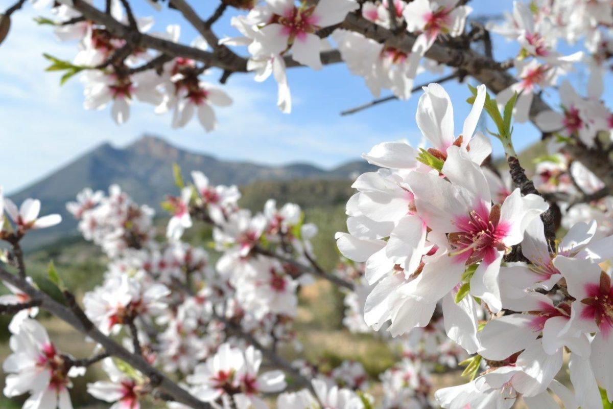 Flor de almendro Jijona Turrones Picó