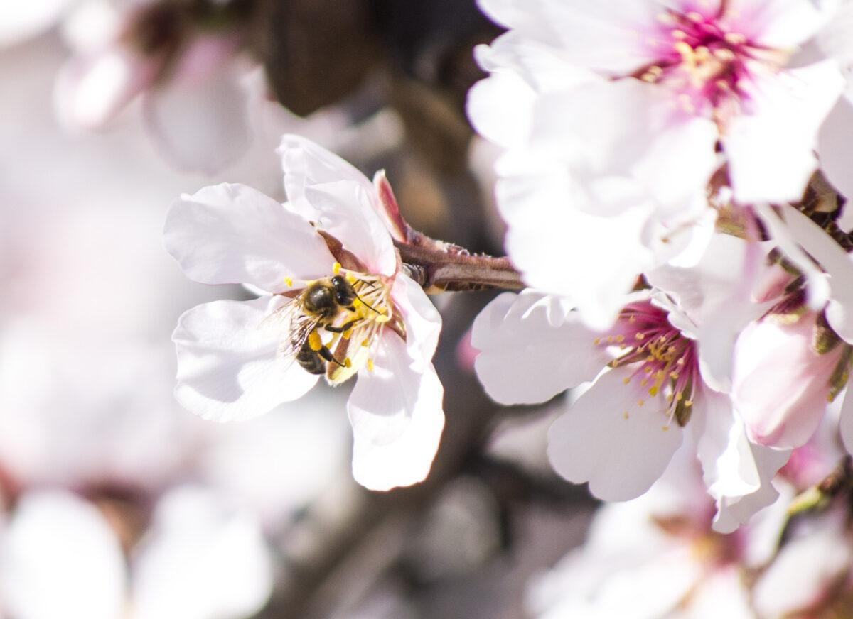 Abeja polinizadora en flor de almendro