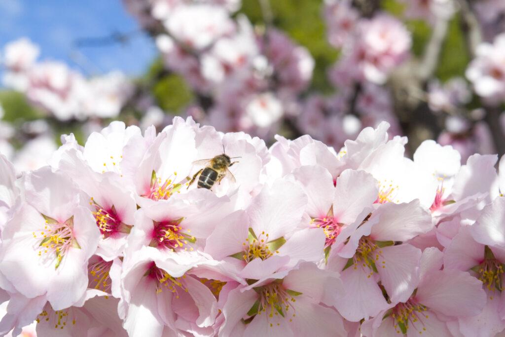 abeja en almendro en flor Turrones Picó