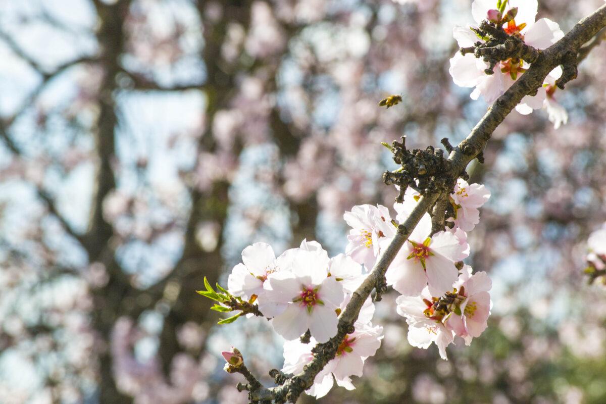 Almendro en flor en Jijona